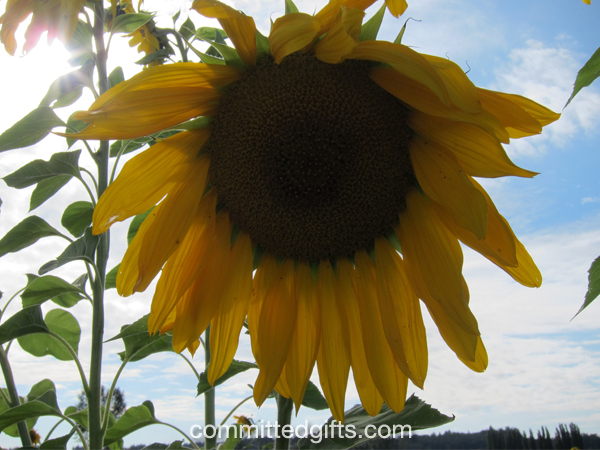 Sunflower photo no flash