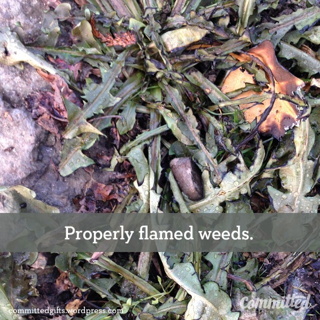 Wilted weeds from flame weeding.